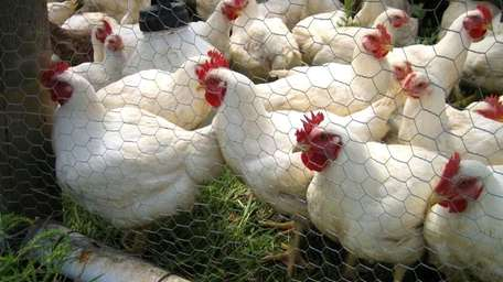 Chickens crowd the fence.