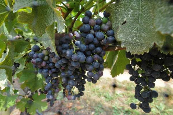 Merlot grapes ripen on the vines at Pugliese