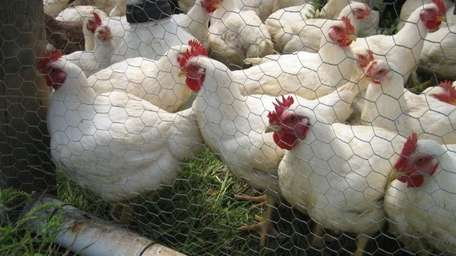 Cornish Cross chickens crowd the fence in the