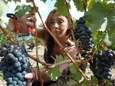 A picker harvests grapes at the Chateau Smith