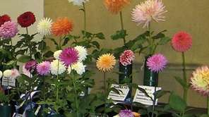 Dahlias on display at the Mid-Island Dahlia Society's