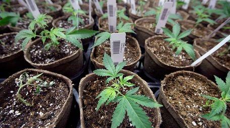 Cuttings at Sira Naturals medical marijuana in Milford,
