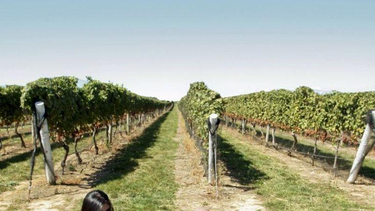 Pindar Vineyards in Peconic encourages guests to bring