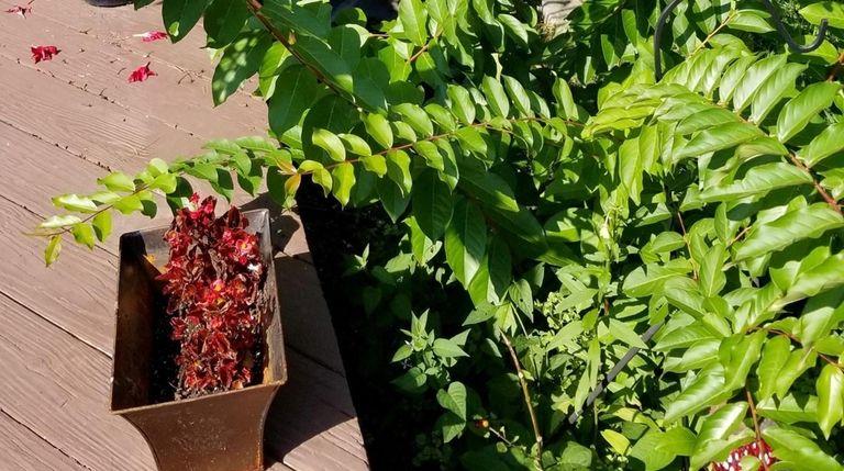 Reader George Wurzer found his crape myrtle flourished