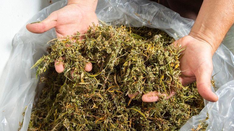 Some of the hemp crop that David Falkowski,