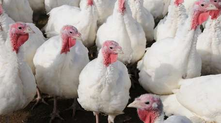 Turkeys at Miloski's Poultry Farm in Calverton.