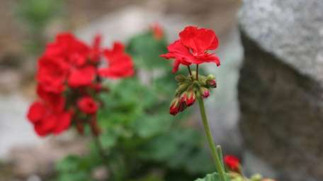 Geraniums can be stored over the winter for