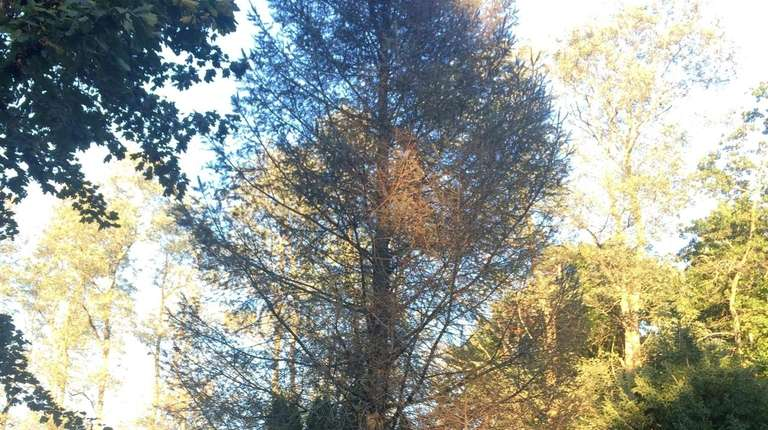 Nick Koridis' tree, which is turning brown, may