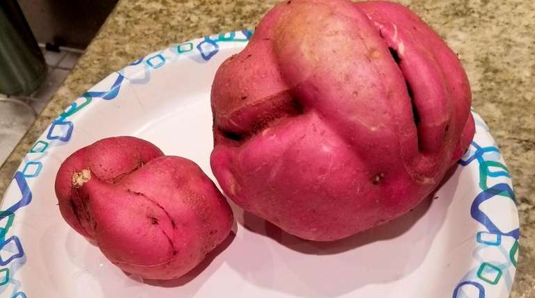 Eating the tuberous roots of ornamental sweet potato