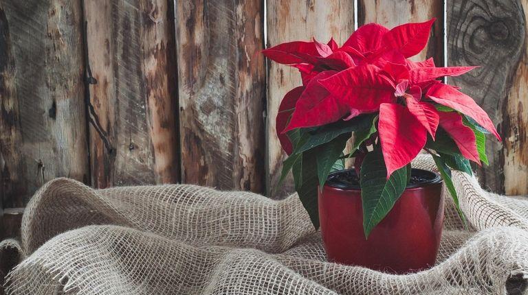 Even a small, single pot of poinsettias can