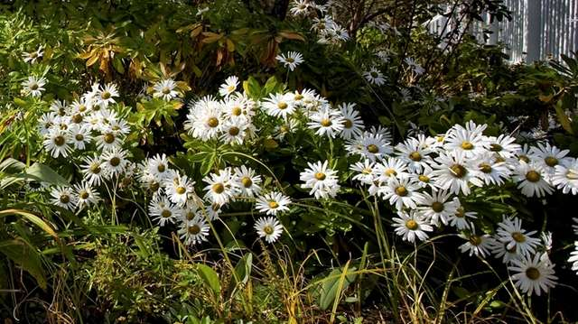 Montauk daisies can be cut almost to the
