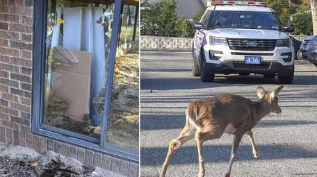 A deer runs free Wednesday after it crashed