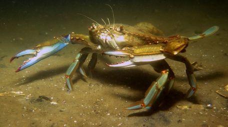 A blue crab in Shinnecock Bay.