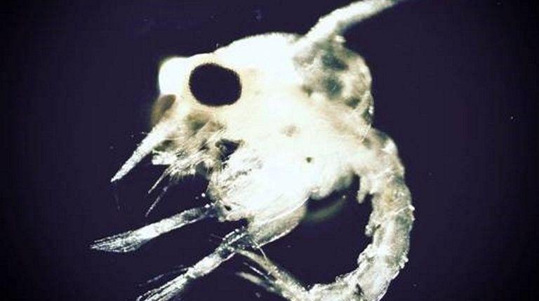 A close-up of a blue crab larva. The
