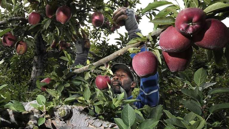 Field manager Darrel Henry picking Red Delicious apples