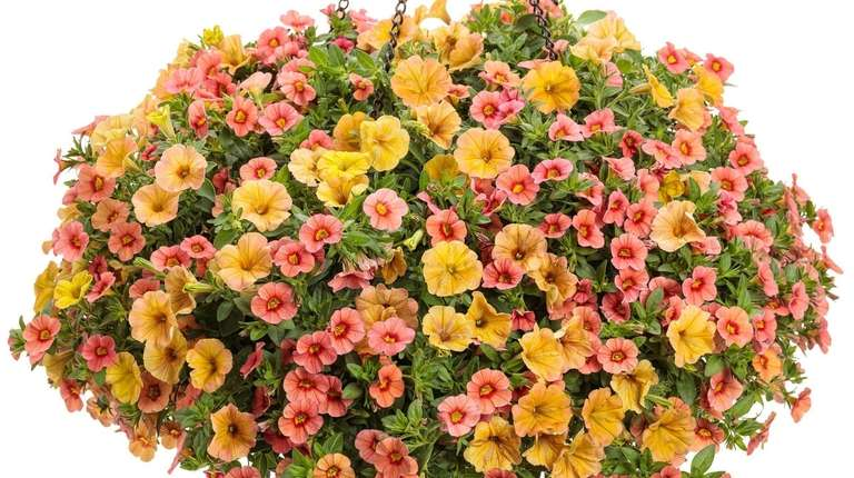 Calibrachoa plants require all-day direct sunlight to achieve