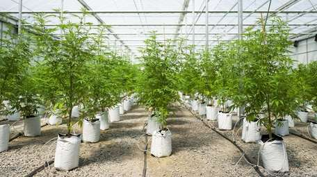 Rows of cannabis plants grow in the twenty