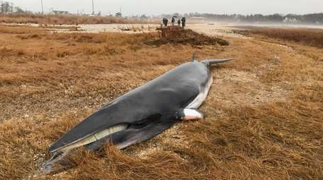 The 16-foot minke whale was thought to be