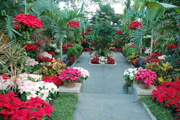 Poinsettias on display at Planting Fields Arboretum State