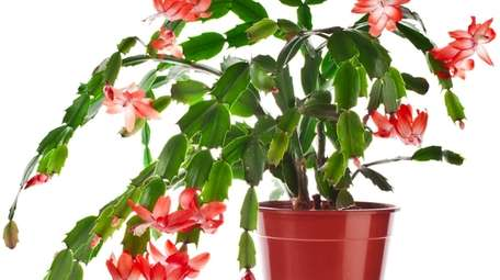 The Christmas cactus is a popular winter holiday