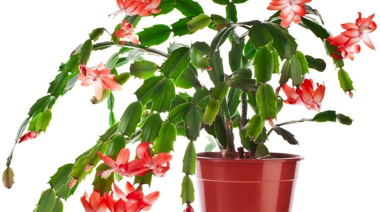 Caring For Christmas Cactus Poinsettias And Overwintering Calla