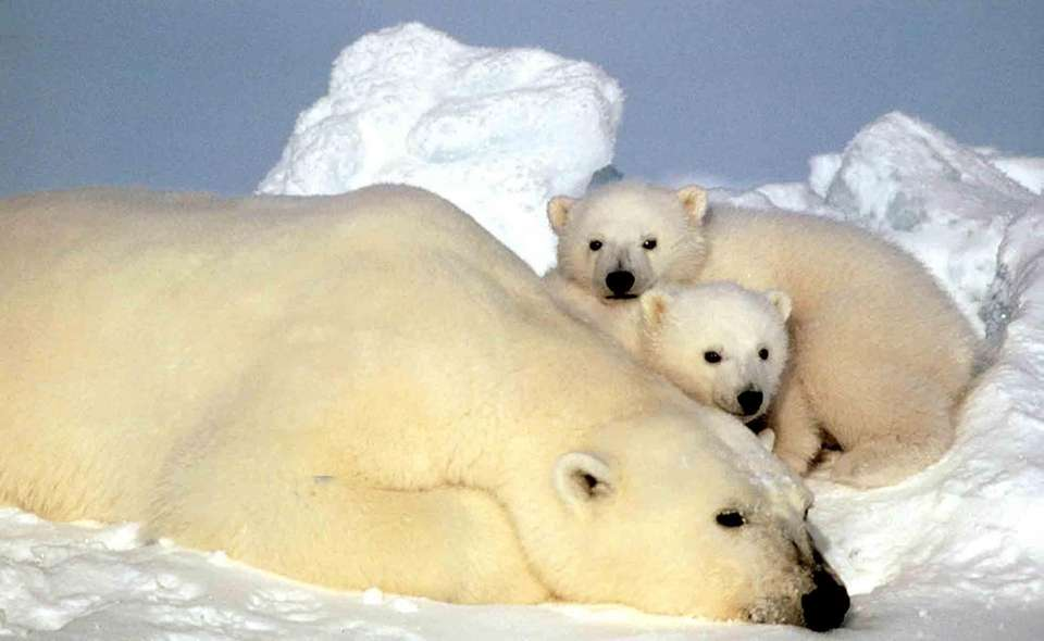 A polar bear rests with her cubs on