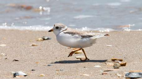 File photo of a piping plover near their