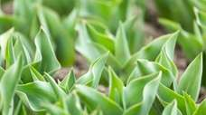 The green leaves of tulip plants.