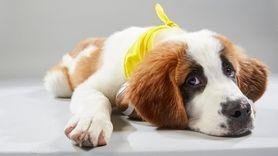 Saint Bernard, 18 weeks; AHeinz57 Pet Rescue &
