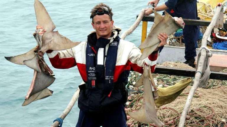 An Australian customs officer holds drying shark fins