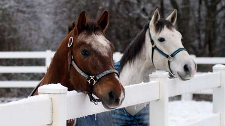 Two horses approach as their trainer encourages them