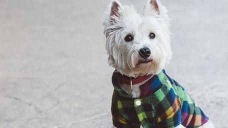 Cute West Highland Terrier wears a coat.