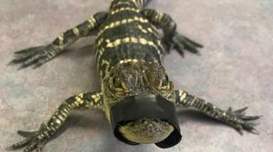 A 1-foot American alligator was found in home