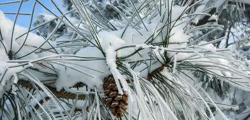 Beautiful pine cone among the very long needles