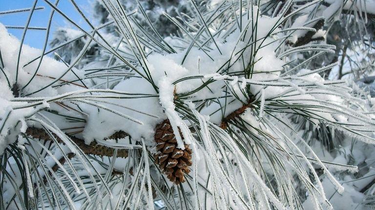 Beautiful pine cone among the very long needles