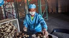 Yong Bo Zhuo,processing and packaging shitake mushrooms on