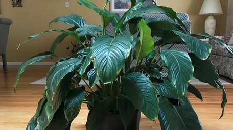 A large peace lily (Spathiphyllum) grows in a