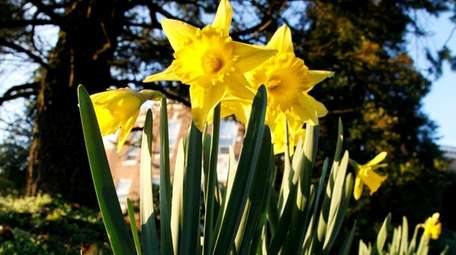 Daffodils are reliable spring bloomers that return and
