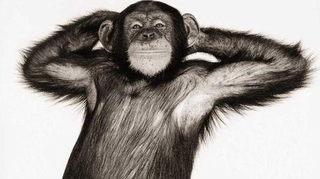 A stock photo of a chimpanzee (pan troglodytes)