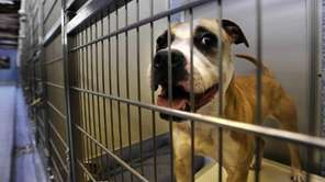 This American terrier mix is waiting to be