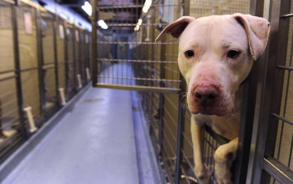 This American Staffordshire waits to be adopted from