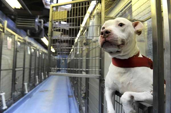 This American Staffordshire was waiting to be adopted