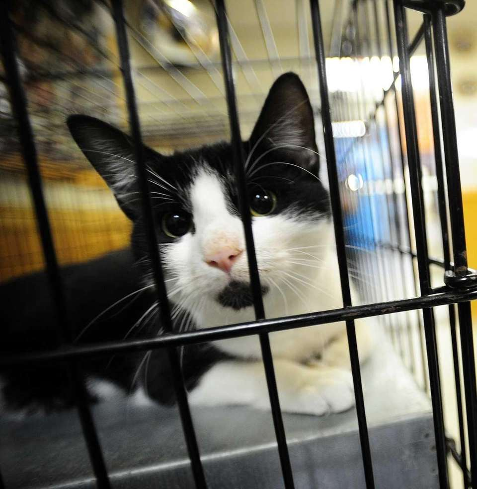 A cat up for adoption at the Town