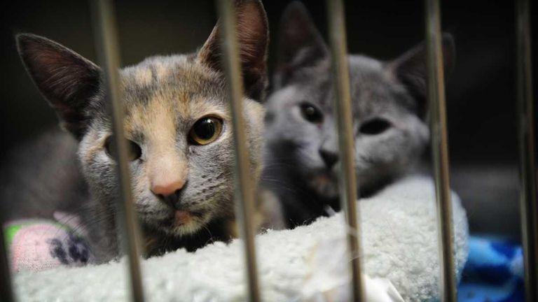 Kittens await adoption at the Town of Hempstead