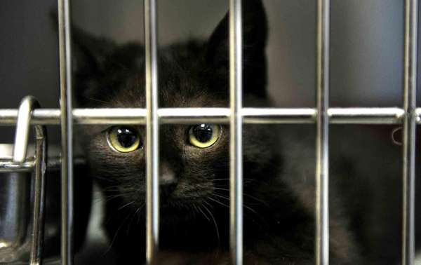 A cat waits to be adopted from the