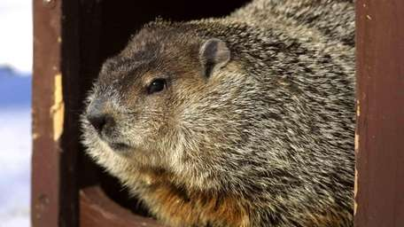 Cloudy, one of the groundhogs at Brookfield Zoo