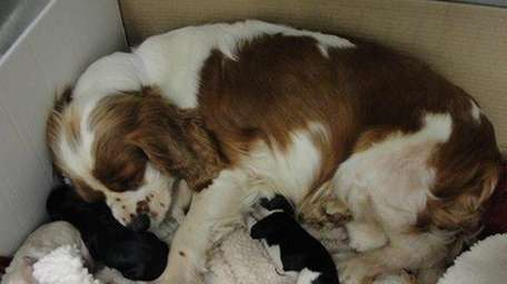 Mama, the rescued cocker spaniel, went into labor