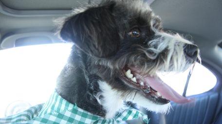 Oreo, a Schnauzer-type dog who ran away from