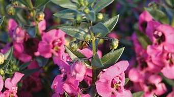 'Angelface Pink' Angelonia display gorgeous pink flowers.