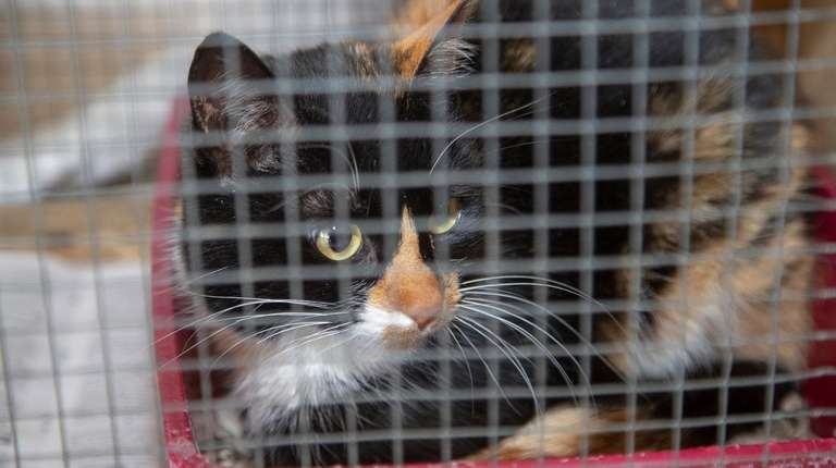 A female calico cat, who was trapped and
